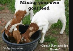 Warmhearted goat farming 101 go to website Pigmy Goats, Boer Goats, Feeding Goats, Raising Goats, Raising Rabbits, Cabras Boer, Show Goats, Goat Barn, Nigerian Dwarf Goats