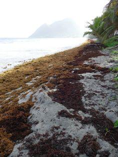 Point sargasses au Diamant en Martinique, le 06/06/18 - Images du jour et des autres jours: https://madikeravoyages.fr/crbst_549.html  Le cycle des arrivages, aplagissage, pussonage ou pas, ramassage, arrivage... continue... Des récentes et des radeaux dans la baie...  Aujourd'hui, en plus, on a eu droit à une brume de sable à 10/10 !!!