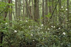 Atlantic white cedar - giant rhododendron swamp