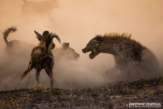 Pack of African Wild Dogs on a fight with a Spotted Hyeana in the Okavango Delta. Botswana.