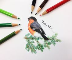 Bullfinch (Pyrrhula pyrrhula) by Tulinatur