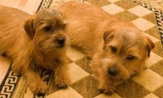 Buffy's Norfolk Terriers - Mikey & Margie