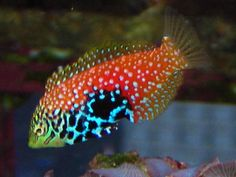 Not all saltwater aquarium wrasses and other fish are reef safe. Some harm invertebrates. Reef Safe saltwater fish are marine fish wrasses and others that are both safe for corals and safe for invertebrates in a reef aquarium. Saltwater Fish For Sale, Saltwater Aquarium Setup, Saltwater Fish Tanks, Live Aquarium Plants, Marine Aquarium, Marine Fish, Planted Aquarium, Reef Aquarium, Reef Safe Fish