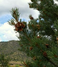 Pinon pine native to New Mexico - - Photograph by Judith B Trimarchi - Stay with us at Star Ranch, New Mexico. Enjoy our B&B in historic Chimayo - conveniently located between Santa Fe and Taos. Free breakfast, free wi-fi, hot tub, private bath, adjustible queen bed. www.starranchnm.com