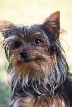 Yorkshire terrier--my girl prefers the natural look, too. #yorkshireterrier