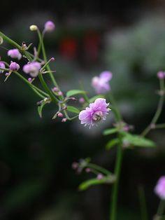 Fyllda lila brudslöjeliknande blommor på yviga blomstjälkar. Gracilt växtsätt. Vi rekommenderar att denna sort planteras med andra höga växter så att den kan få ett naturligt stöd.