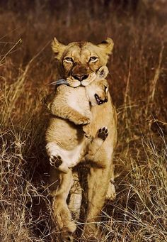 Lioness with cub by Kevin Lucke