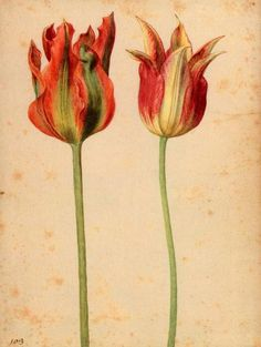 Tulips are here again (A few days more…): 'Two Tulips II' - Georg Flegel. Vintage Botanical Prints, Botanical Drawings, Botanical Art, Illustration Botanique, Plant Illustration, Merian, Wildflower Seeds, Tulips Flowers, Arte Floral
