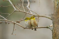 メジロ(mejiro)=Japanese white-eye *Zosteropsjaponicus* On a branch of a lilac tree.