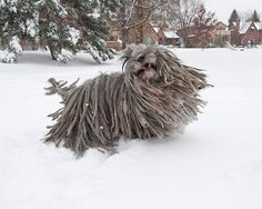 Snowy Bergamasco Dog 8 x 10 photo by KarenHoglund on Etsy