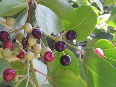 Maqui berries - The new super berries from Chile.
