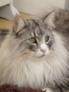Blue silver tabby and white Norwegian Forest Cat