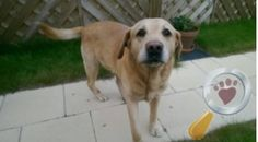 A male, golden labrador was found on the 9th of May on Station Road, Waddington, (Lincolnshire LN5) Please help us get him back home!