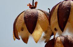 FF Flower Wasp Tiphia intrudens Feeding on Eucalyptus.