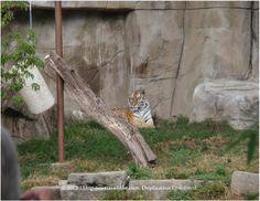 A tiger at Brookfield Zoo.