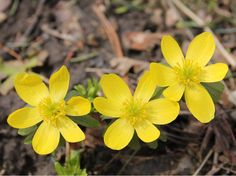 Check out the MIROFOSS database to learn many interesting facts about Winter Aconite. The MIROFOSS database also contains articles about many other natural wonders with some great images too.