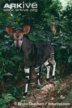 Male okapi in rainforest