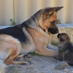 Wicked Training Your German Shepherd Dog Ideas. Mind Blowing Training Your German Shepherd Dog Ideas. Gsd Puppies, Cute Dogs And Puppies, I Love Dogs, Puppy, Doggies, Animals And Pets, Baby Animals, Cute Animals, Beautiful Dogs