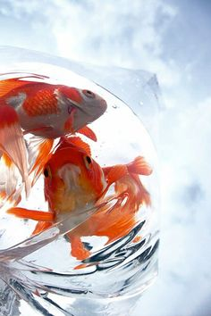 fukuro kingyo / bag of goldfish Goldfish Pond, Japanese Goldfish, Orange Fish, Golden Fish, Fish Tales, Carpe, Pet Fish, Beautiful Fish, Freshwater Fish
