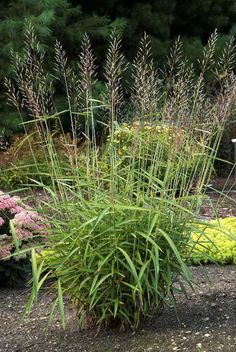 1000 images about hardy plants for brooklyn gardens on for Hardy grasses for the garden