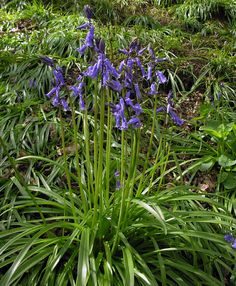 Bluebell. Middle of border.