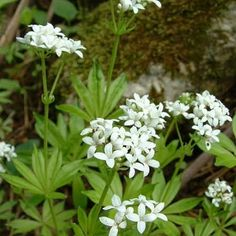 Remedy of The Day: Sweet Woodruff. It's also helpful for problems with the digestive system kidney liver and bladder #herbs #remedieshttp://www.frannsalthealth.com/blog/sweet-woodruff-health-benefits/