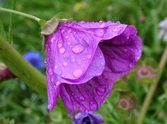 "Wet Violet Flower Picture - ""I like it because it is so beautiful and the water makes it so shiney"""