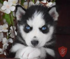Siberian Husky puppy - Shadow 466416