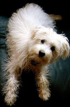 Toy Schnoodle Pictures