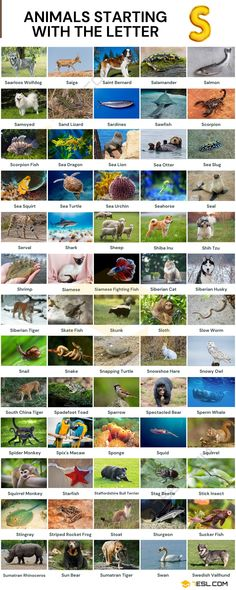 Animals that Start with S Sumatran Rhinoceros, Sumatran Orangutan, Tiger Species, Animal Species, Alphabetical List Of Animals, Spectacled Bear, Snapping Turtle, Common Birds, Visual Dictionary