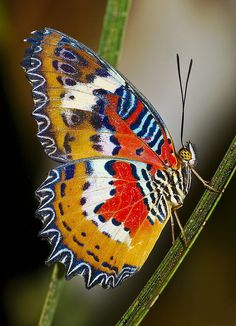 The Malay Lacewing (Cethosia hypsea hypsina)