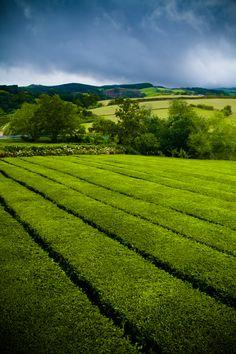 Chá/Tea @ São Miguel (Azores) - Portugal