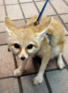 Fennec Fox - An Adorable Fox You Can Keep as a Pet So Long as You're Responsible About It - Urlesque