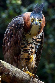 Spizaetus Ornatus | Spizaetus ornatus - Zoo SP_20070603_001 | Flickr - Photo Sharing!