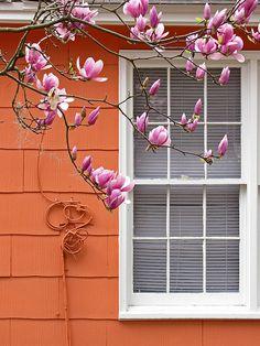 Japanese Magnolia.