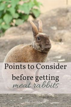 Points to Consider Before Getting Meat Rabbits - Rabbits can be a frugal way to add meat to your small homestead, but before you dive in, consider these great points. #homesteading
