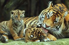 Mother Sumatran tiger grooming a small cub. Such beautiful babies.