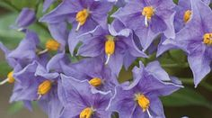 Solanum Glasenevin Chilean Potato Tree. A scrambling climber with dark green leaves. Fragrant clusters of deep purple-blue flowers from summer to autumn, followed by yellowish white fruits. Height 6m.