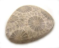 Fossilised Coral Fossilized Coral, Rocks And Minerals, Fossils, Decorative Bowls, Dinosaurs, Home Decor, Decoration Home, Room Decor, Fossil