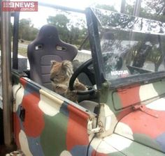 A koala behind the wheel of a car. A schoolboy from rural Victoria returned home to find a furry carjacker behind the wheel of the family Land Rover.