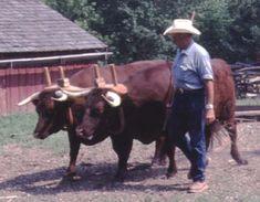 American Milking Devon oxen at Missouri Town in Lee's Summit, Missouri,  during an Ox Driving workshop (photo by Drew Conroy).