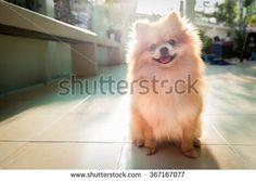 Dog Pomeranian Spitz Photos The cute dog Pomeranian Spitz activities. by Pattarawat Photo Black, Little Dogs, Pomeranian, Royalty Free Images, Cute Dogs, Husky, Corgi, Puzzle, Fox