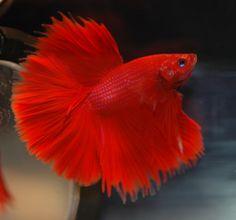 Pink Betta Fish - Bing Images