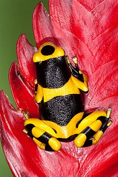 Poison Dart Frog : I'm fascinated by the black circle on the head. Reptiles Et Amphibiens, Mammals, Beautiful Creatures, Animals Beautiful, Cute Animals, Frosch Illustration, Sapo Meme, Poison Dart Frogs, Funny Frogs