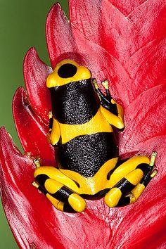 Poison Dart Frogs » newenglandruralimages.com/recentimages