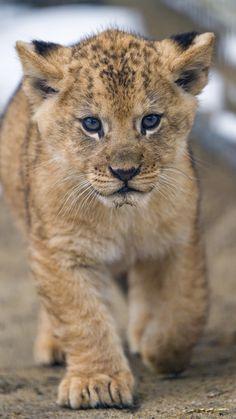 Cleo the adorable lion cub <3 | by Tambako the Jaguar