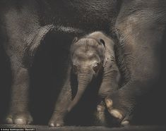 A young Asian elephant is seen embracing its mothers back legs (pictured) Mr Xanthopoulos ...