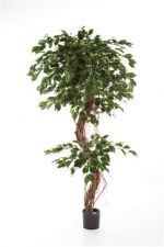 Ficus Corkscrew Exotica 180cm