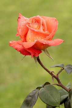 Oh a beautiful Coral Rose