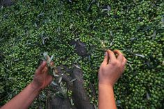 New and early Koroneiki Olive Harvest Oct.2013 /  Neue und frühe Koroneiki Oliven Ernte Okt.2013.